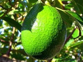 Superior avocado oil for kitchen