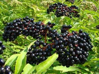 Elderberry for influenza recovery