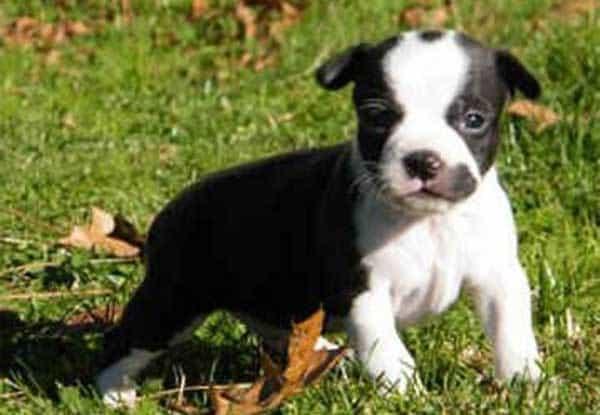 Boston Huahua: The Proud and Loving Designer Dog