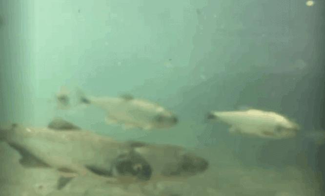 fish of CR la fortuna river