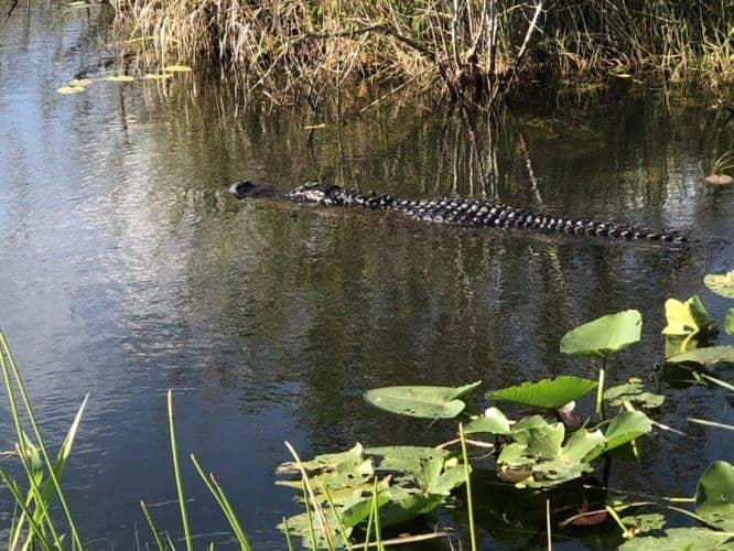alligators in everglades national park sm