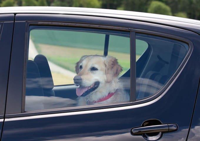dog in backseat