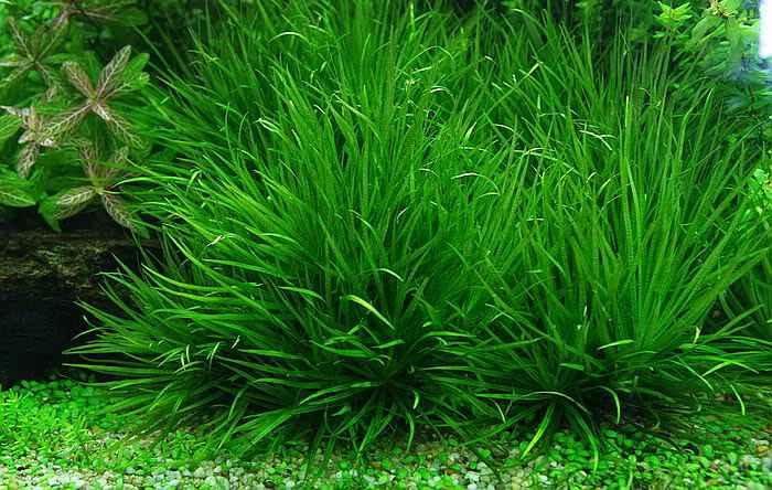 Cây cỏ nhật thủy sinh