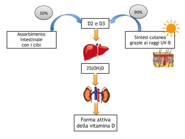 Il viaggio della vitamina D