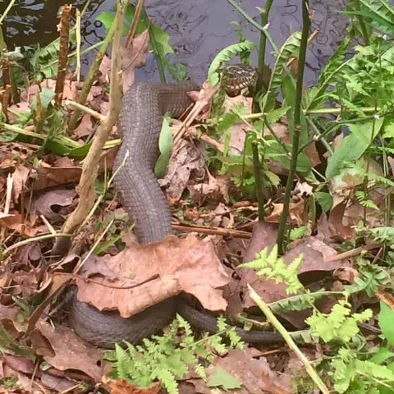 cowans gap state park water snake