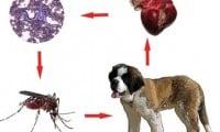 Какво е дирофилариоза