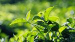 商標登録insideNews: 室町期から伝わる「政所茶」ブランドにお墨付き 地域団体商標に | 京都新聞